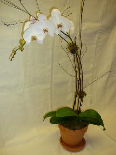 White Phalaenopsis Orchid in Clay